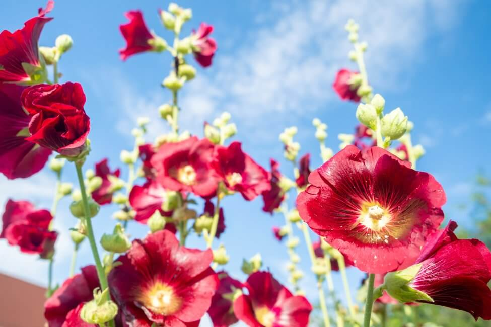 Red Hollyhock Flower Meaning
