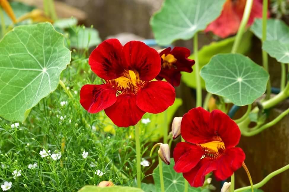 Red Nasturtium Flower Meaning