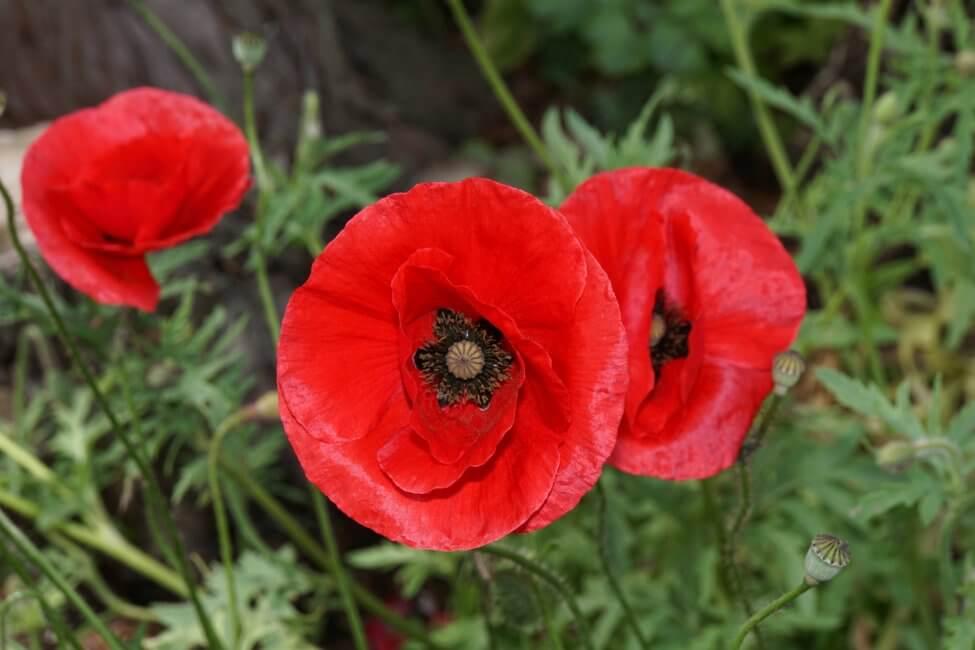 Red Poppies (Papaver 'rhoeas')