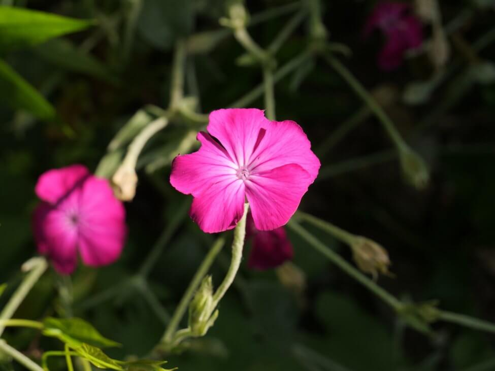 Rose Campion (Silene coronaria aka Lychnis coronaria)