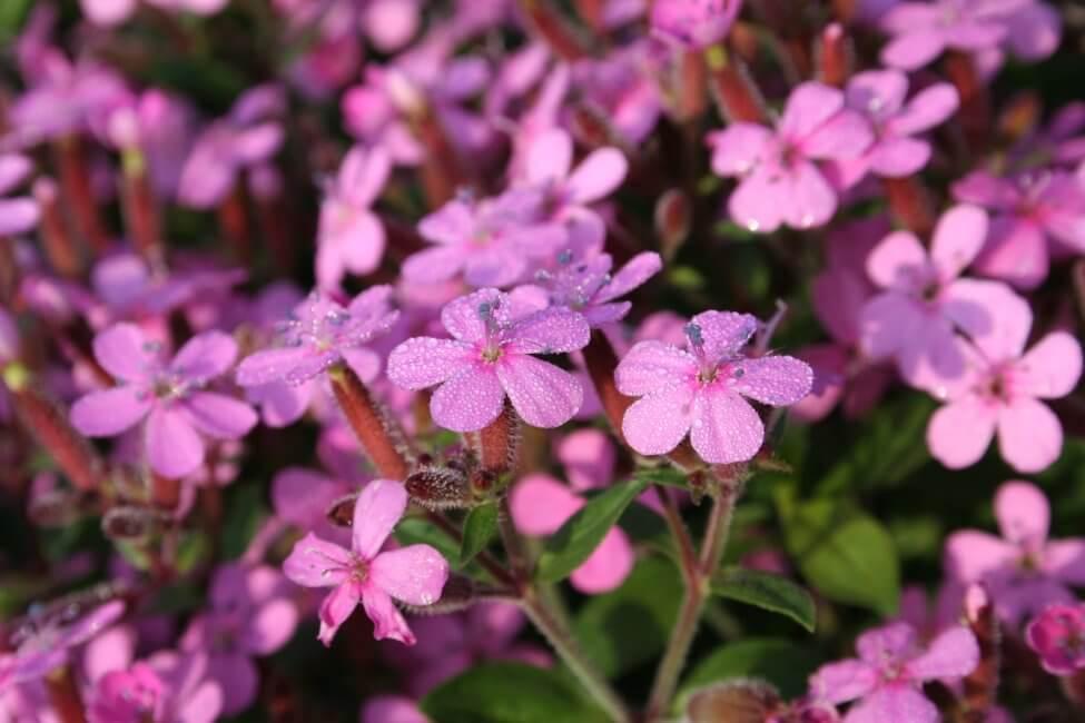Soapworts (Saponaria)