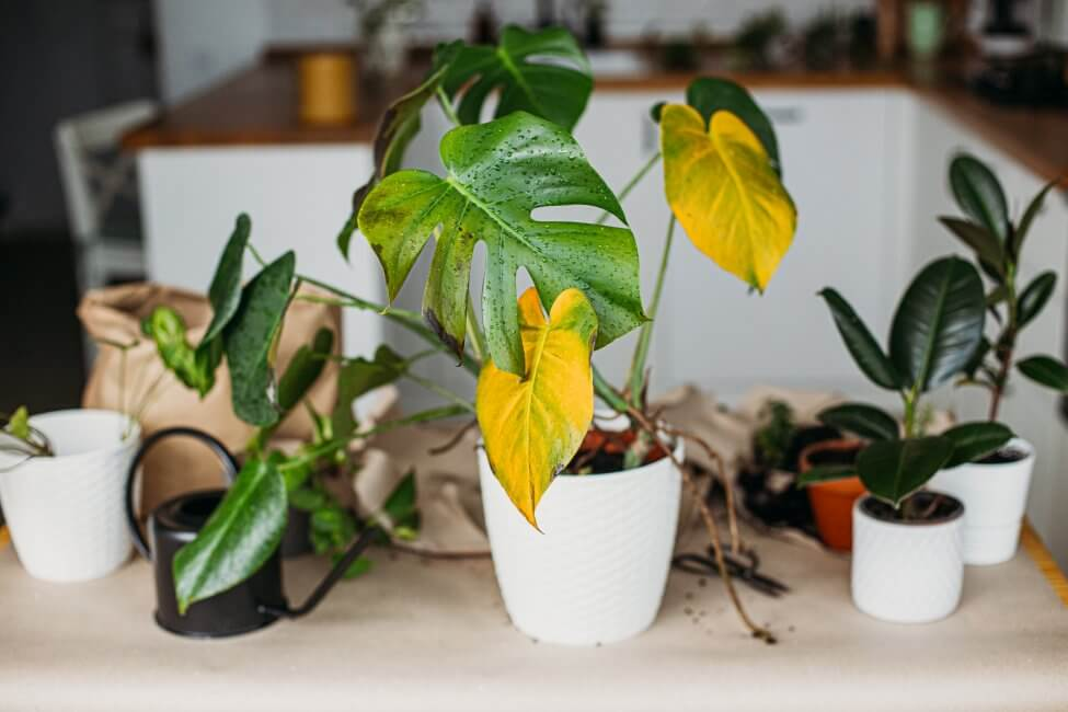 Signs Your Monstera Plant Needs Feeding
