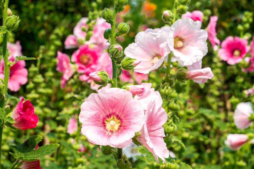 Suitable Gifting Occasions for Hollyhocks