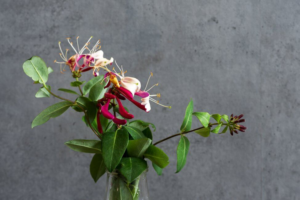 Suitable Gifting Occasions for Honeysuckle