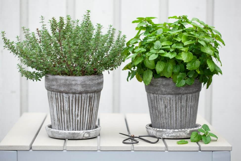 Suitable Gifting Occasions for Lemon Balm