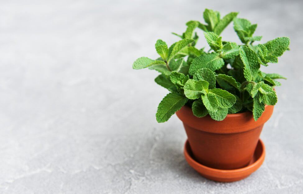 Suitable Gifting Occasions for Mint Plant Flowers