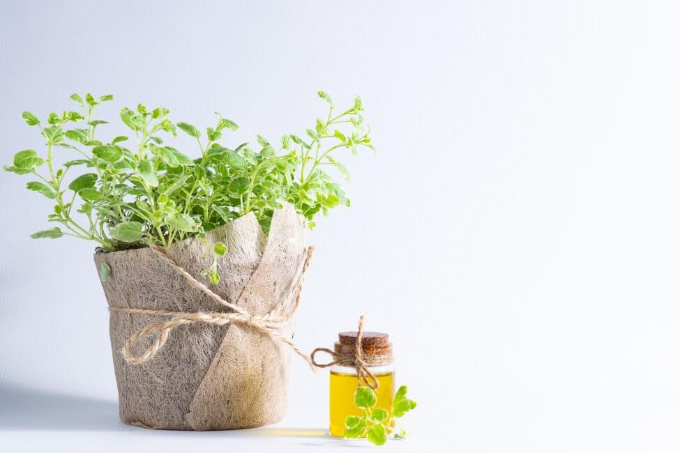 Suitable Gifting Occasions for Oregano Plants - Flowers