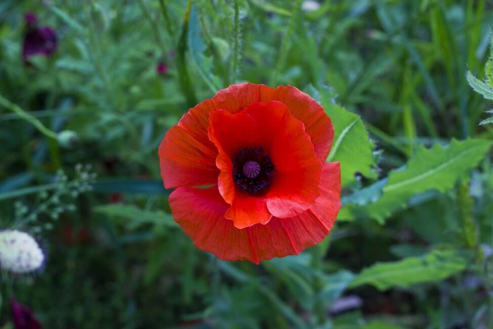 The Cultural Significance of Poppy Flowers