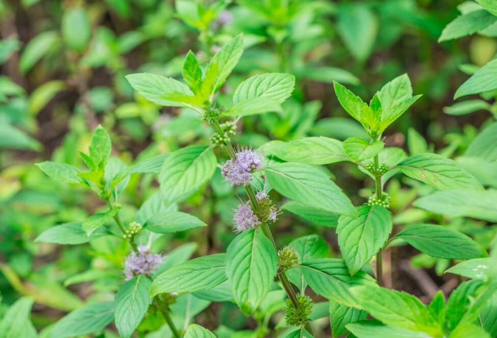The Meaning, Symbolism, and Cultural Significance of Mint Plants
