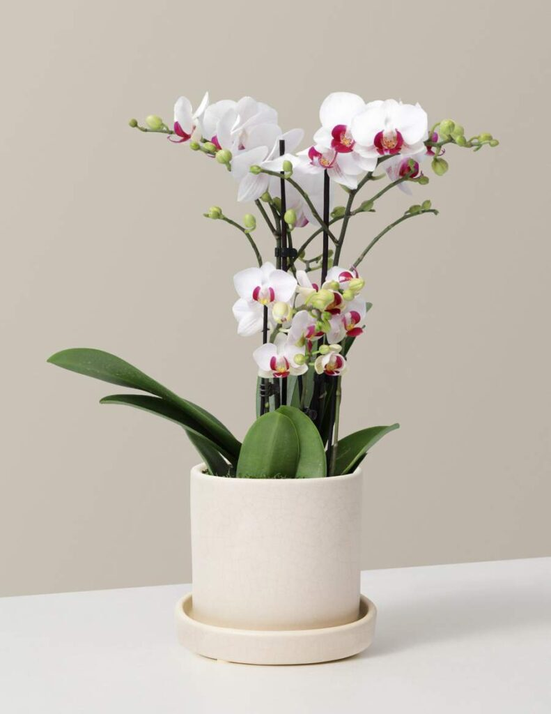 The-Sill-Orchid-Delivery-in-NYC