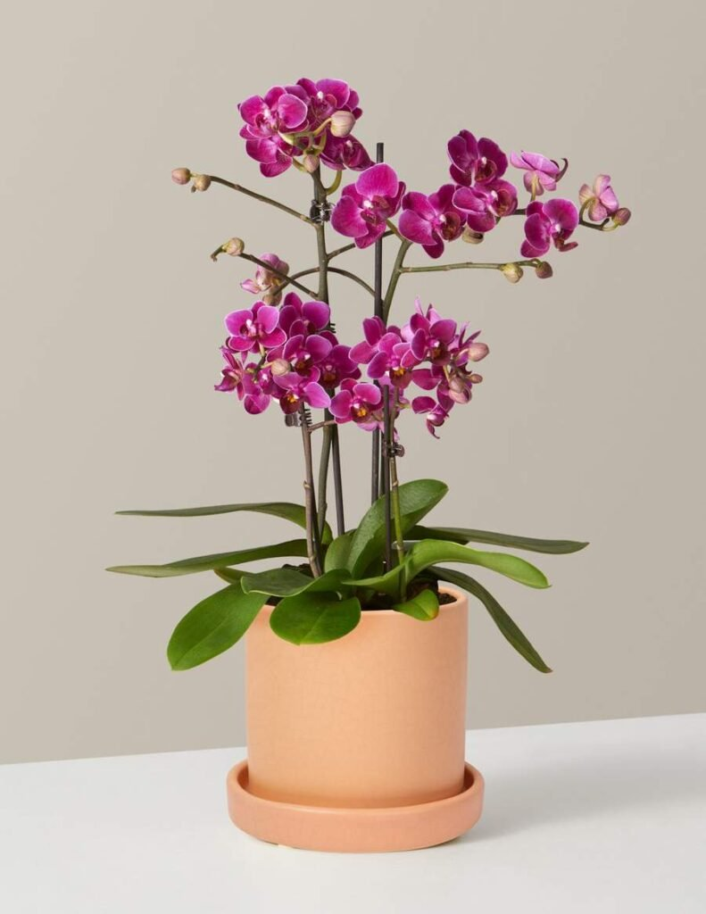 The-Sill-Orchids-for-Sale-NYC