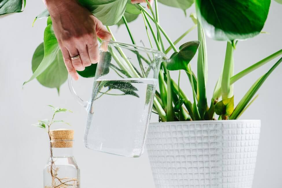 Things to Consider When Fertilizing Montera Plants