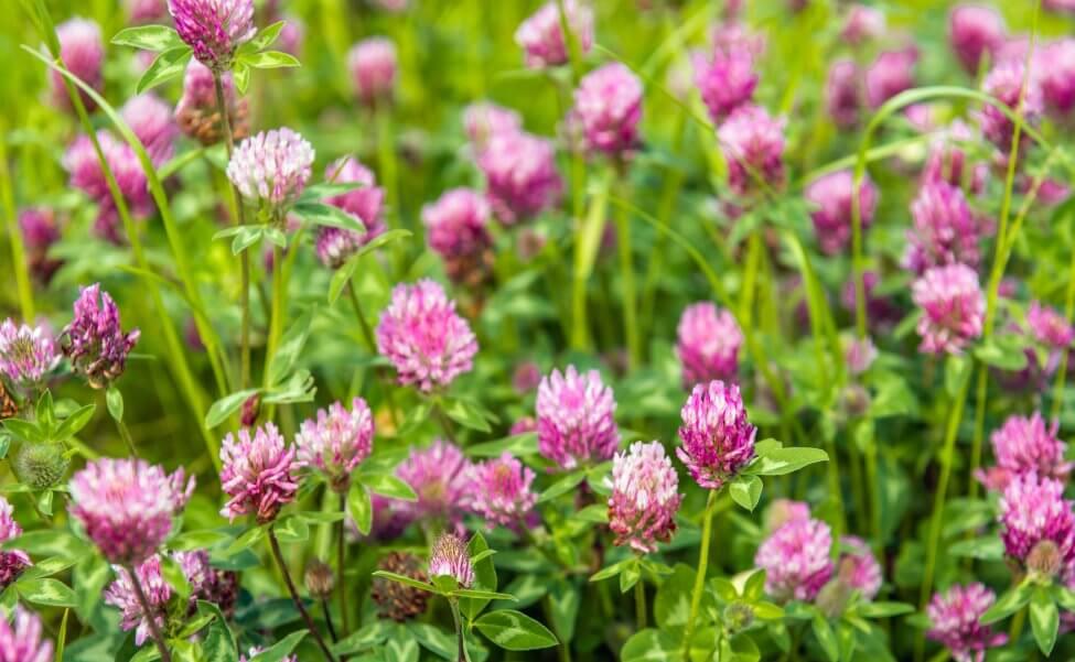 Clover (Trifolium) Pink Flowers