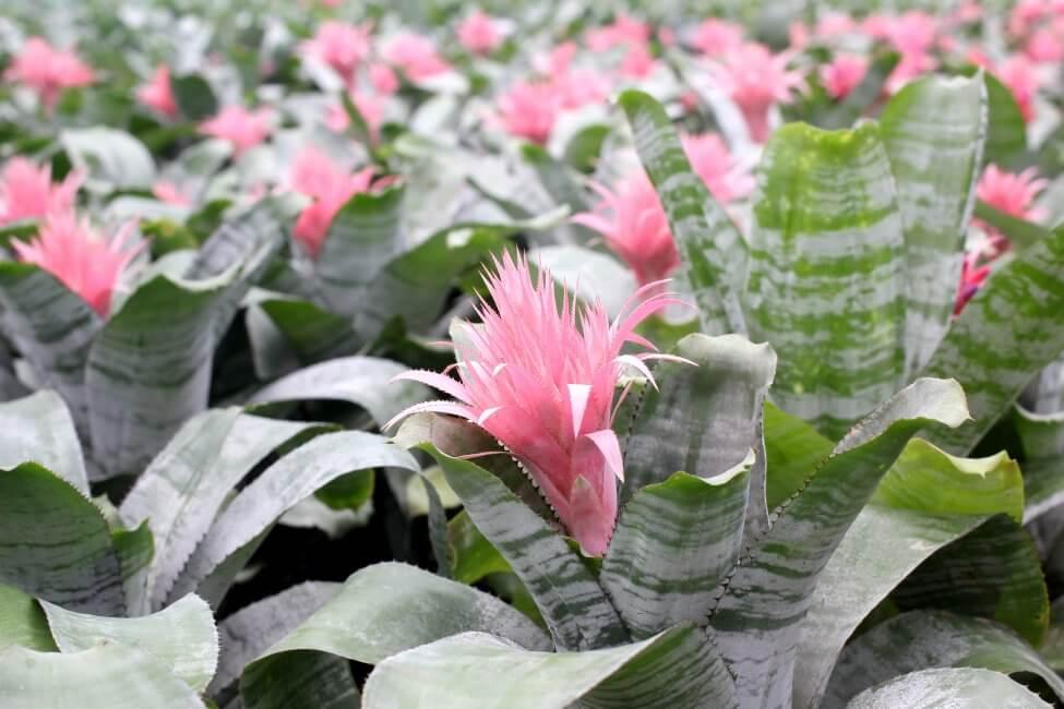 Tufted Air Plant (Guzmania spp.)