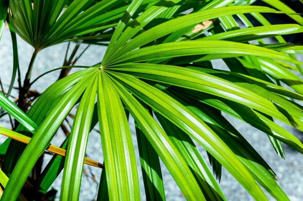 Ultimate Guide to Broadleaf Lady Palm Houseplants (Rhapis excelsa)