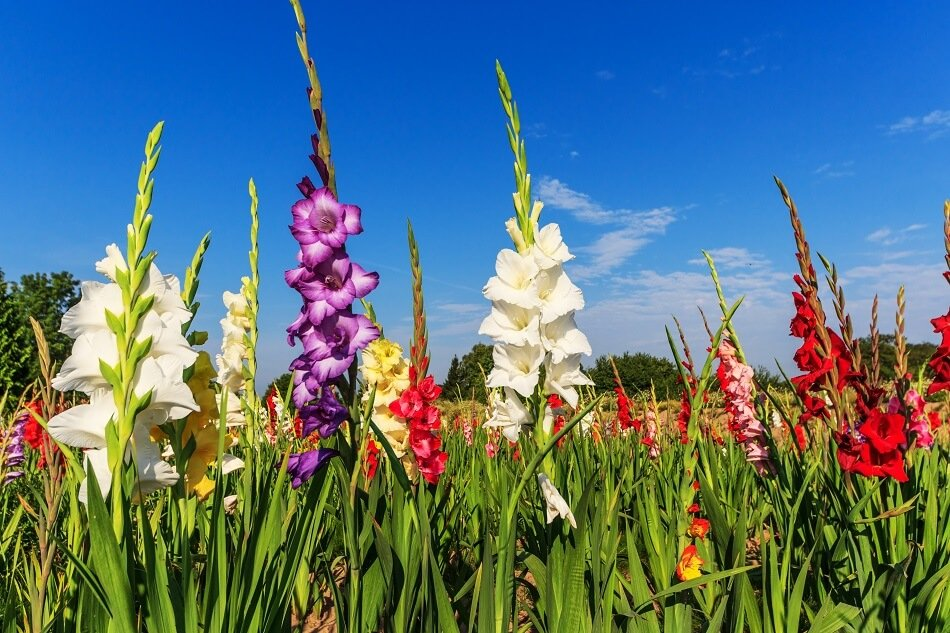 Ultimate Guide to Gladiolus Meaning and Symbolism
