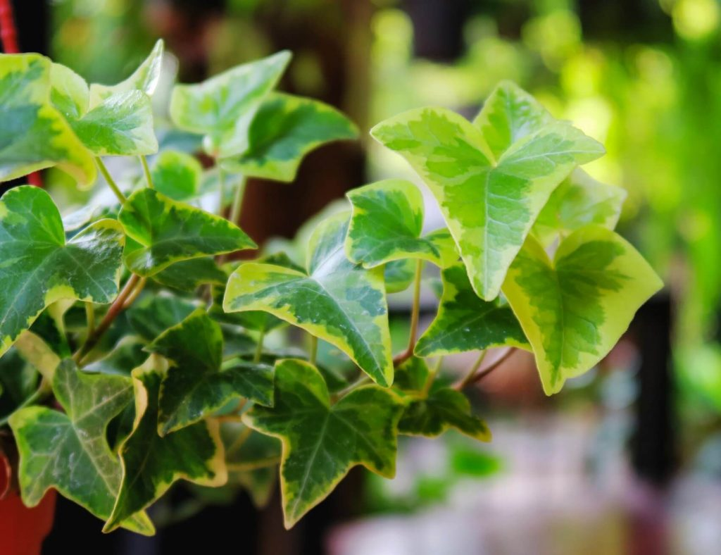 Ultimate Guide to Ivy Flower Meaning, Types, and Uses