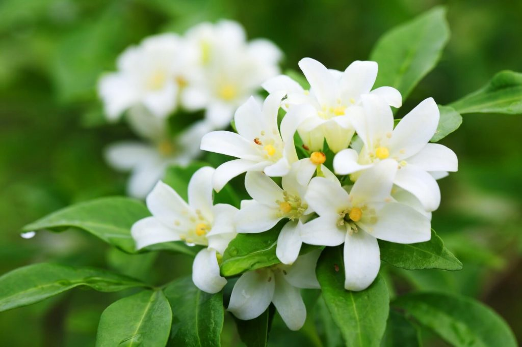 Ultimate Guide to Jasmine Flower Meaning, Types, and Uses