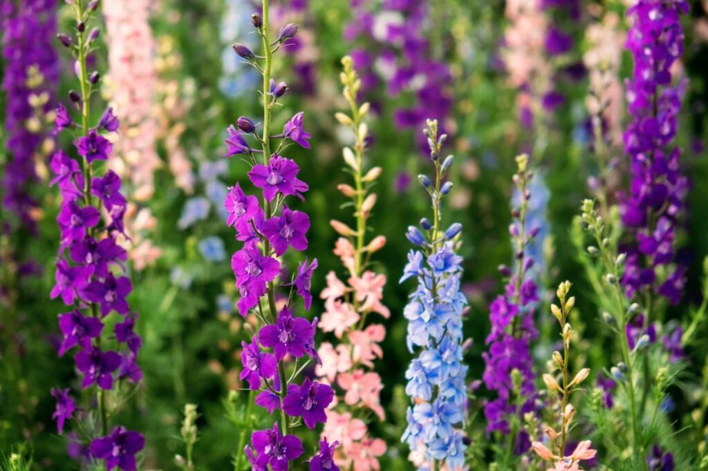 Ultimate Guide to Larkspur Flower Meaning, Symbolism, and Uses