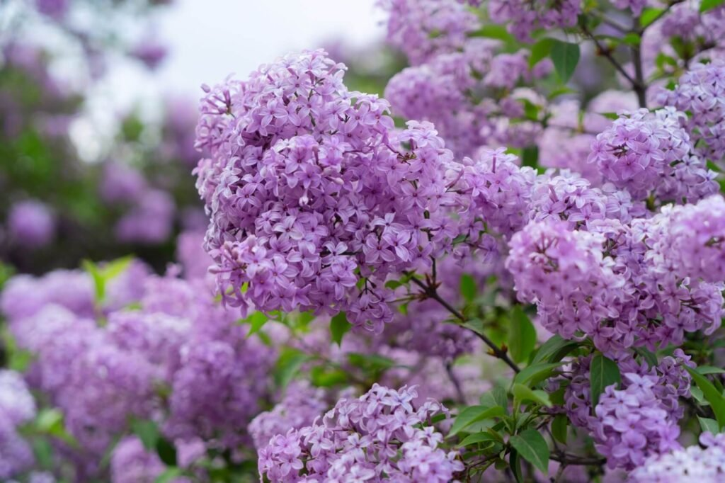 Ultimate Guide to Lilac Flower Meaning, Symbolism, and Uses