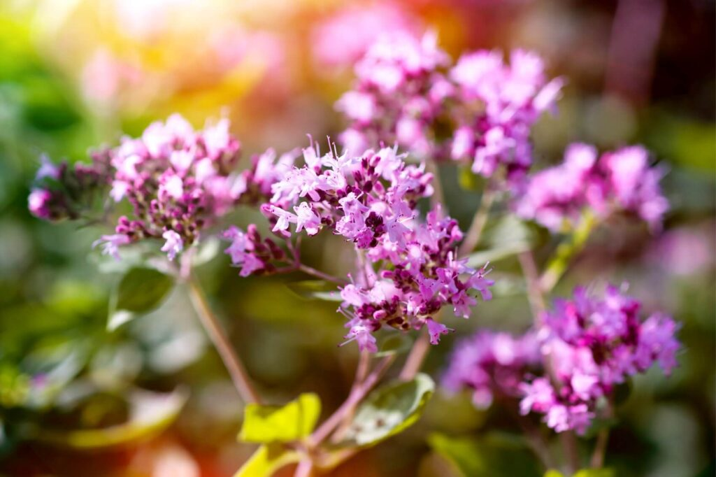 Ultimate Guide to Marjoram Meaning, Symbolism, Types, and Uses