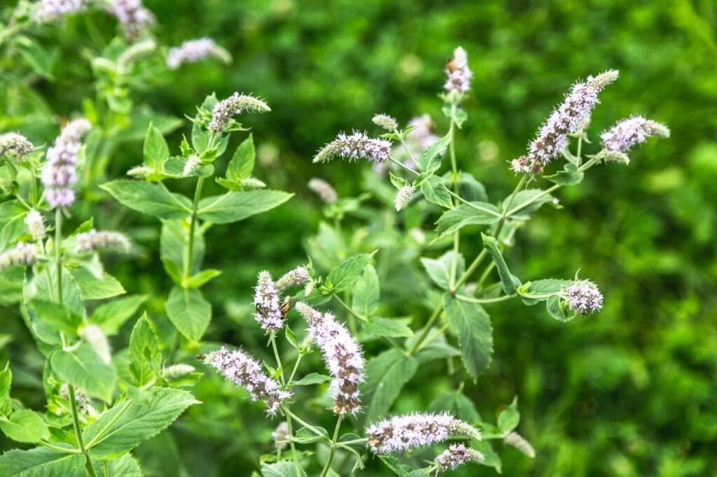 Ultimate Guide to Mint Plant Meaning, Symbolism, Types, and Uses
