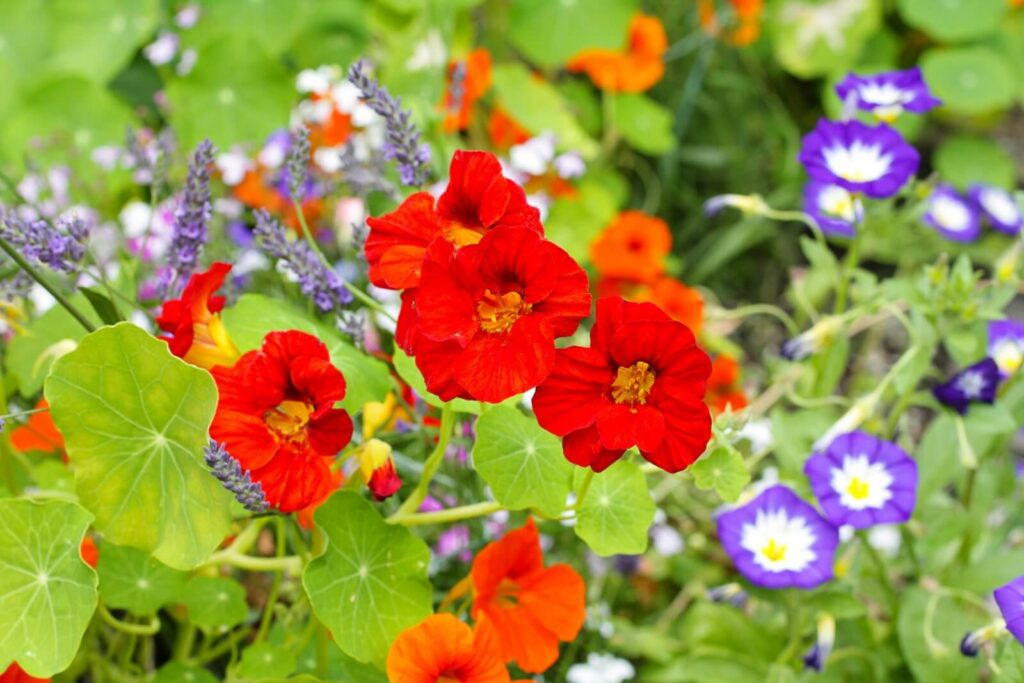 Ultimate Guide to Nasturtium Flower Meaning, Symbolism, Types, and Uses