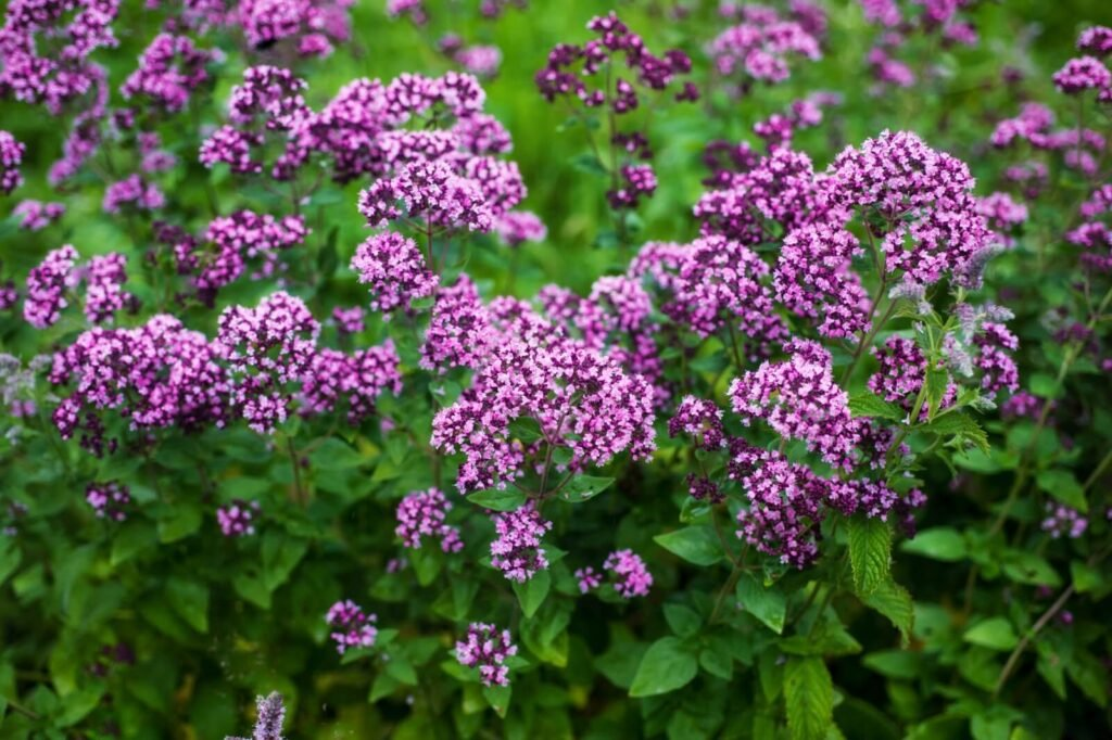 Ultimate Guide to Oregano Meaning, Symbolism, Types, and Uses