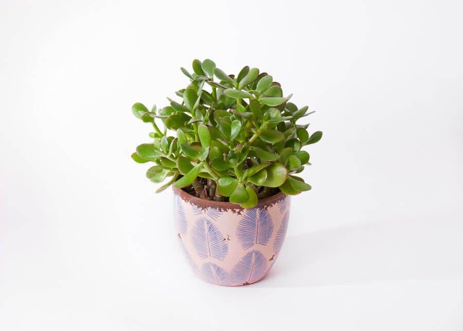 UrbanStems Jade Plants for Sale