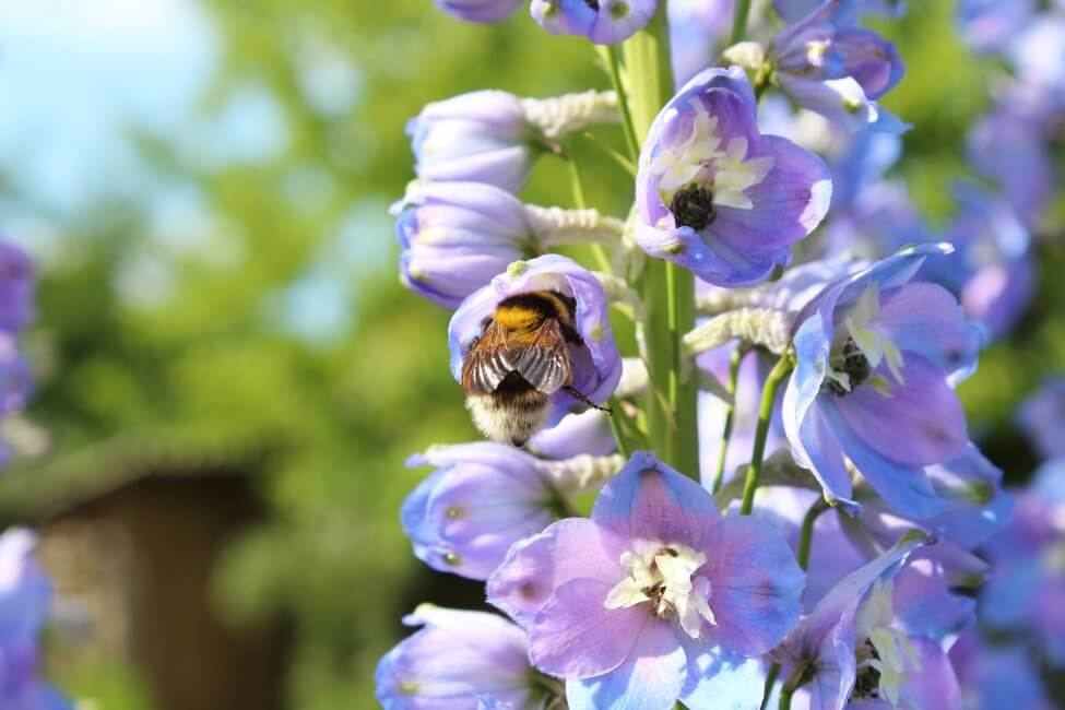 Uses and Benefits of Larkspur