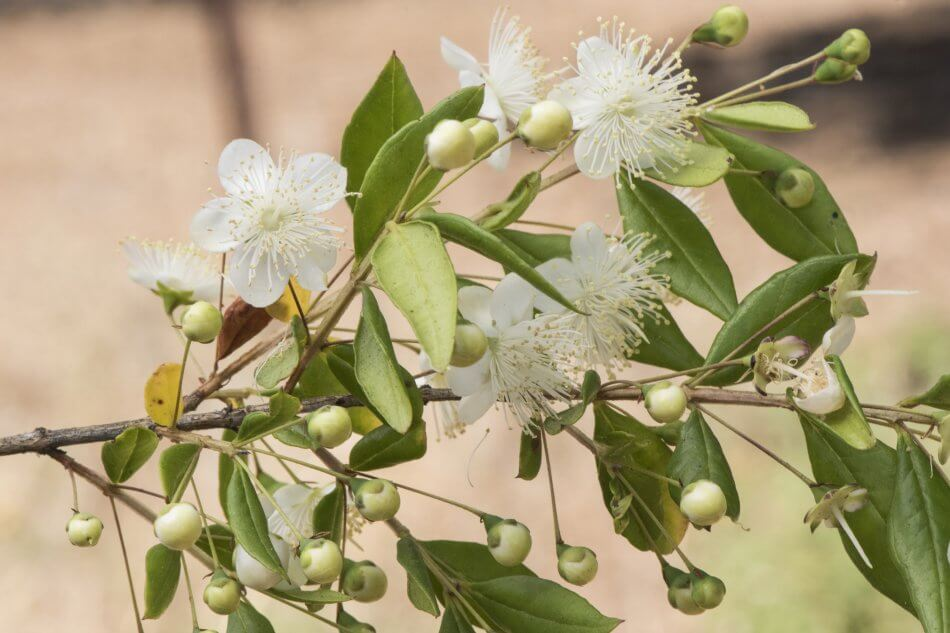 Uses and Benefits of Myrtle