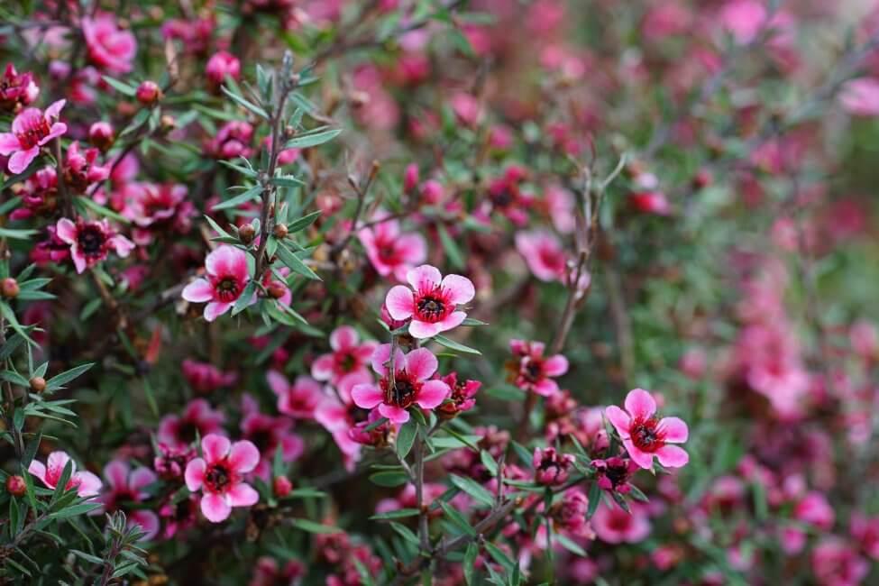 Waxflower (Chamelaucium uncinatum)