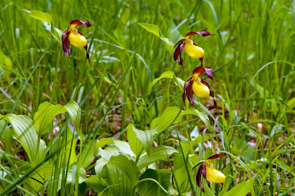 What Regions Are Lady's Slipper Orchids Native To