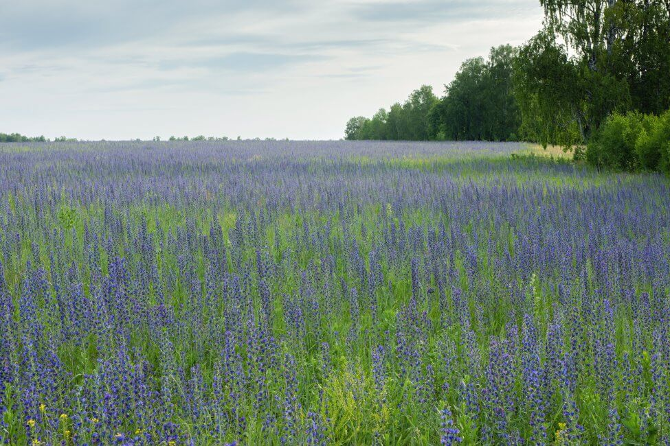 What Regions are Hyssop Flowers Native to
