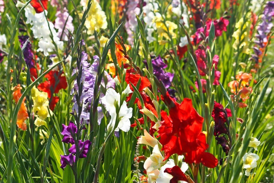 When do gladiolus flowers bloom