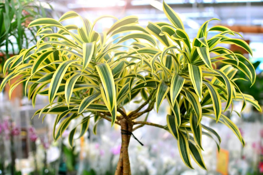 Where to Find the Best Dracaena Plants for Sale in the USA