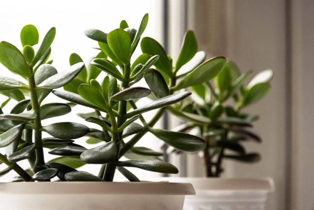 Where to Find the Best Jade Plants for Sale