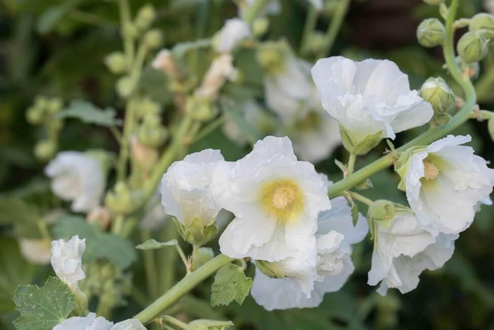 White Hollyhocks Flower Meaning
