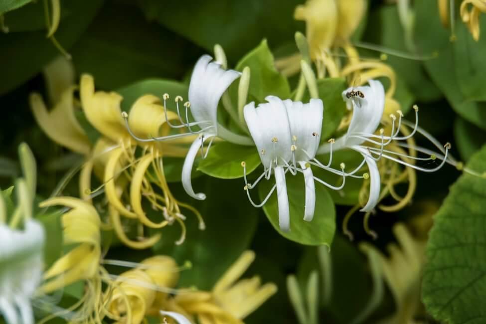 White Honeysuckle Flower Meaning