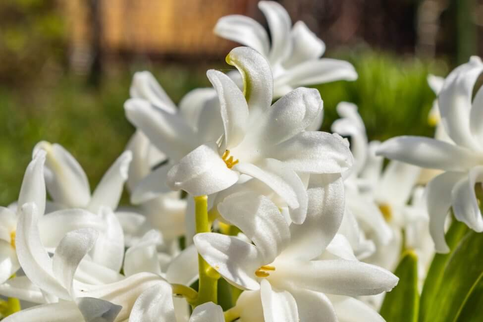 White Hyacinth Flower Meaning