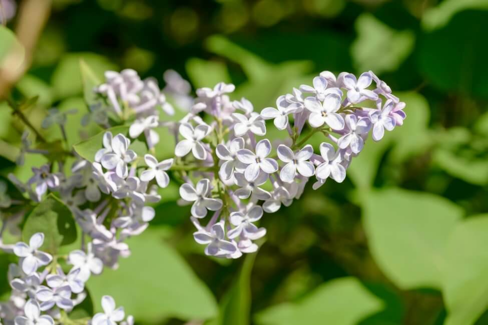 White Lilac Flower Meaning