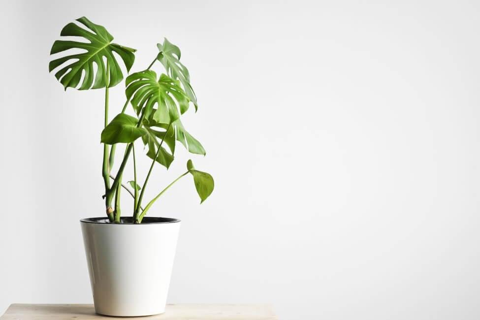 Why Monstera Plants Need Fertilizer