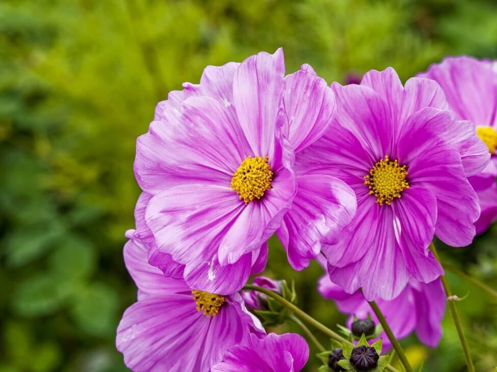 Windflower (Anemonoides nemorosa)