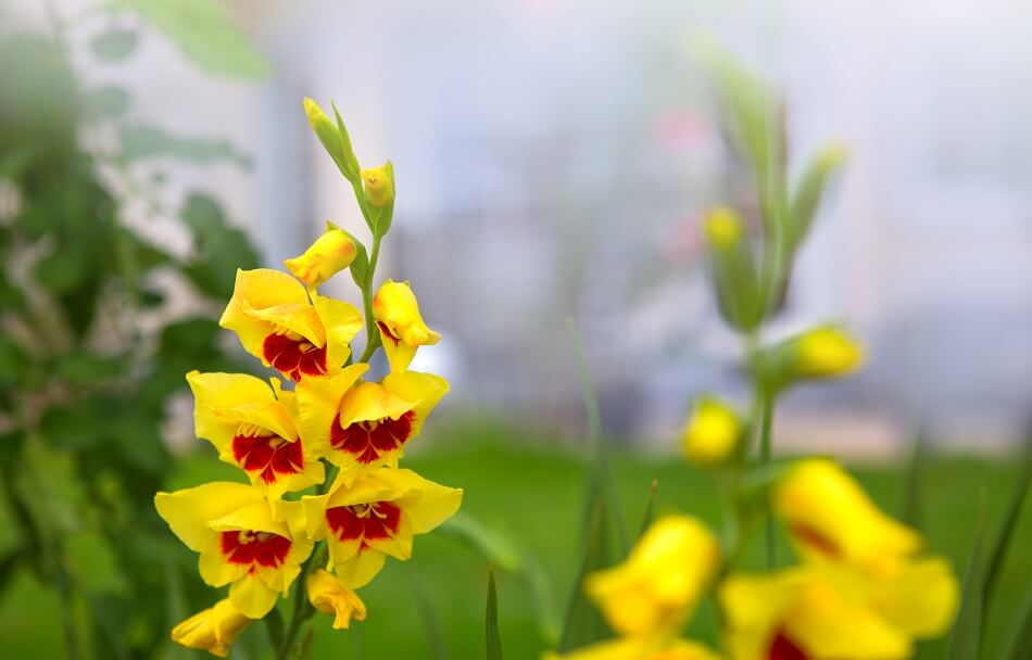 Yellow Gladiolus flower meaning and symbolism