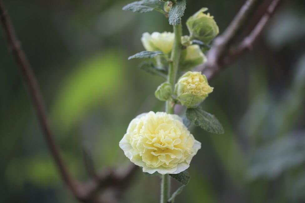 Yellow Hollyhocks Flower Meaning