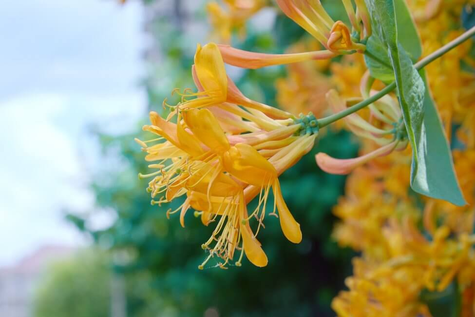 Yellow Honeysuckle Flower Meaning
