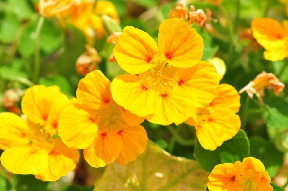 Yellow Nasturtium Flower Meaning