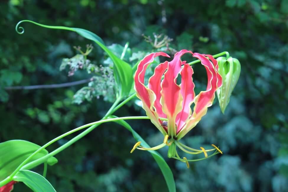 Gloriosa Lily (Gloriosa)
