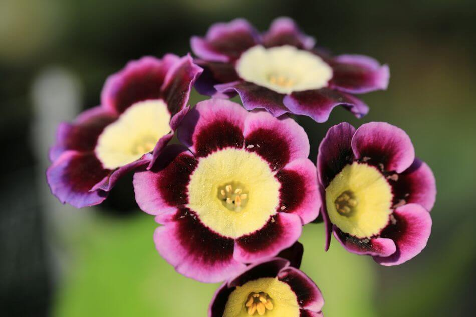 About Auricula Flowers