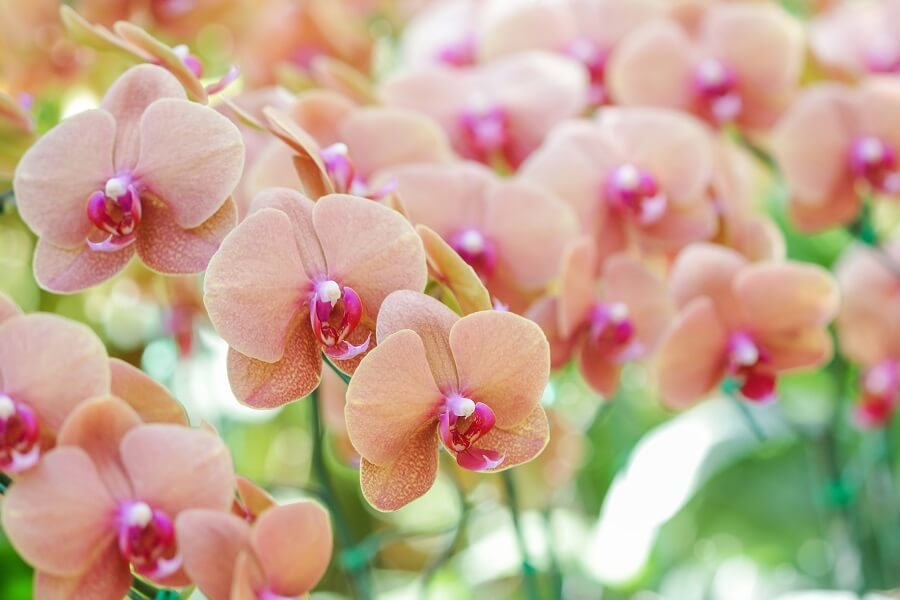 About Phalaenopsis Orchids